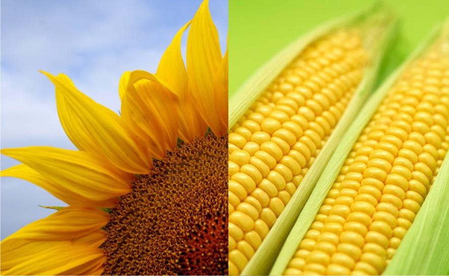 Семена подсолнечника кукурузы гороха сои  яровых зерновых