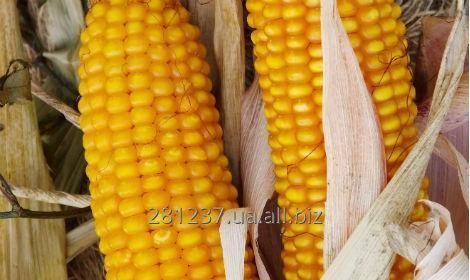 Купить Амарок семена кукурузы ВНИС