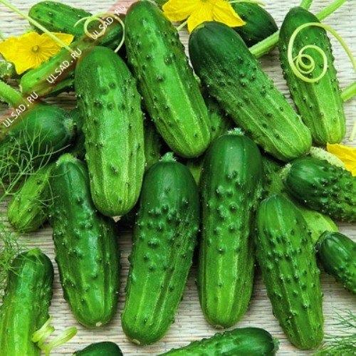 Купить Семена огурца Нежинский
