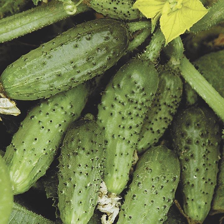 Семена огурца Кустовой