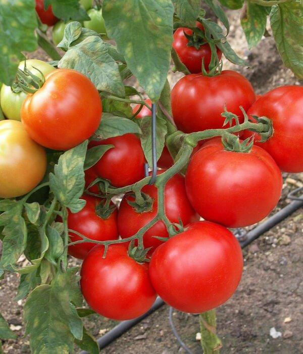 Купить Семена томата Баллада