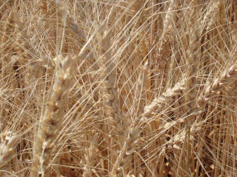 В Челябинской области предлагают выращивать качественную пшеницу для макарон