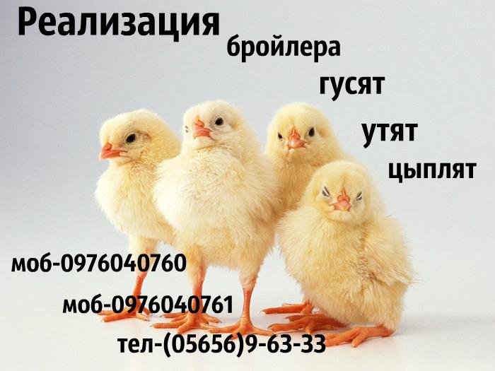 Купить Реализацыя курчат бройлера К0ББ-500,РОСС-708.
