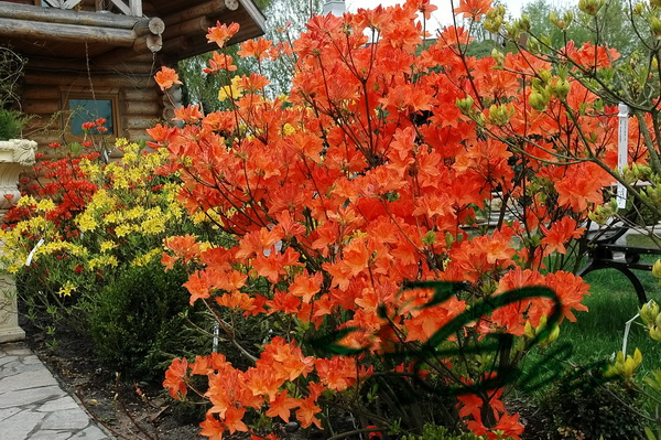 Купить Азалия крупноцветковая, желтая, оранжевая