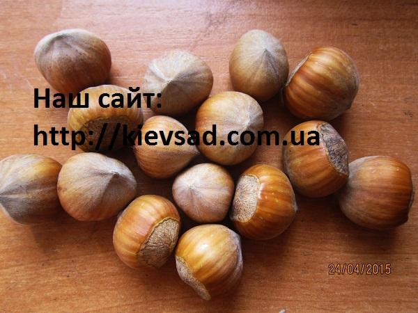 Саженцы фундука Трапезунский, Стрена, Барселонский, Вебба Ценный