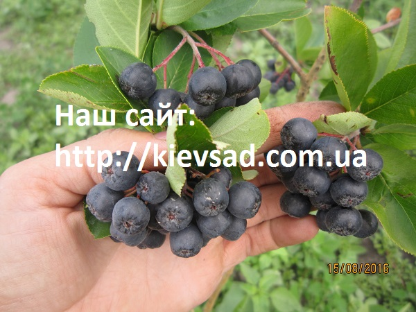 Aroniya saplings (black-fruited mountain ash) two-year-old in the container.
