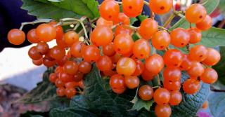 Buy Aroniya saplings (black-fruited mountain ash) two-year-old in the container.