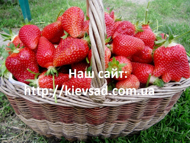 Buy Saplings of strawberry of different grades
