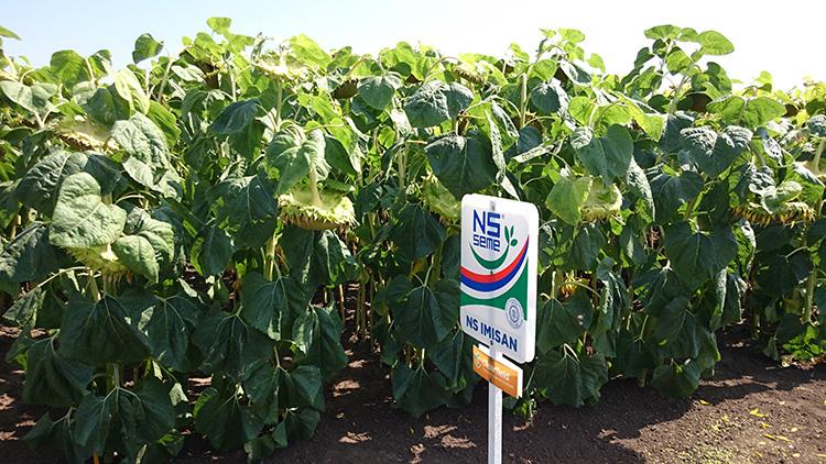 Семена подсолнечника НС ИМИСАН (под Евролайтнинг)