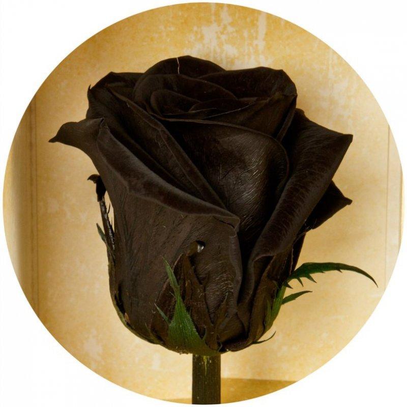Долгосвежая роза Florich черный бриллиант 7 карат, короткий стебель. От 5 штук.