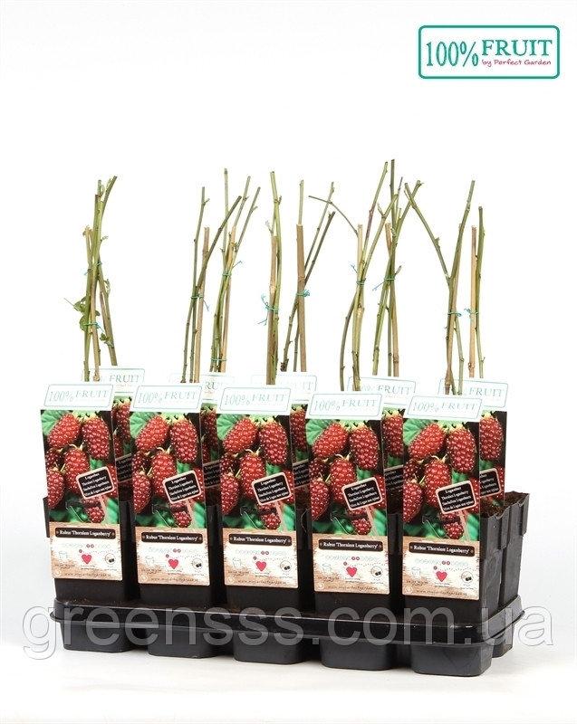 Ягода Логана, или Логанова ягода (малино-ежевичный гибрид) -- Rubus Loganberry  P15/H65