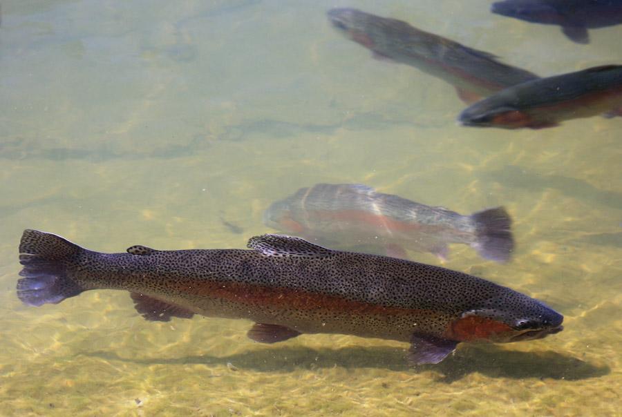 фото рыбы форель