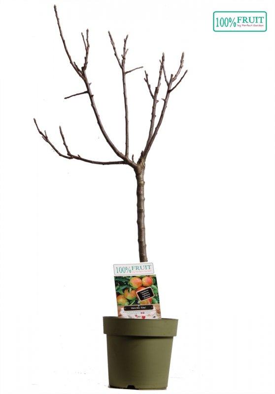 Яблоня домашняя -- Malus x dome.  P21/H100