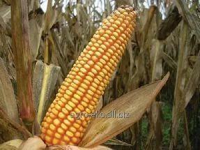 Buy Corn seeds Dnieper 181 CB