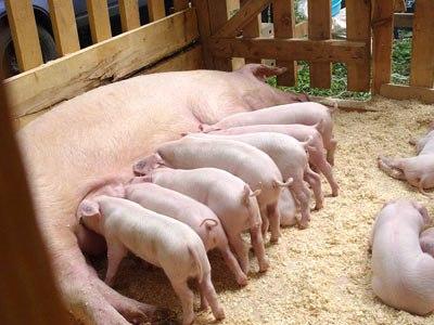 Купить Мясо свинины, купить
