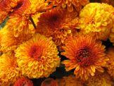 Черенки хризантемы оптом Х Аусма