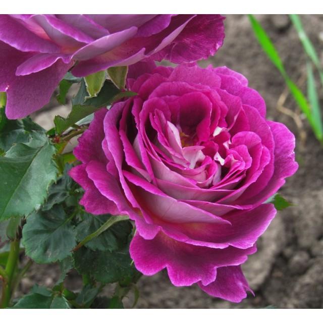 3bd0b8b8e661 Saplings of two-year roses of huddersfield choral society in Khristinovka  online-store Melsansad