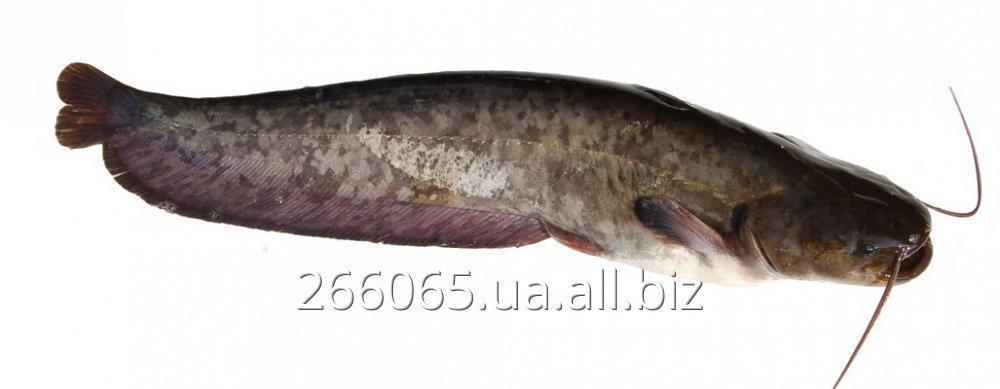 Sum żywe ryby ekologiczne z gatunku fish clara (clariasgariepinus)