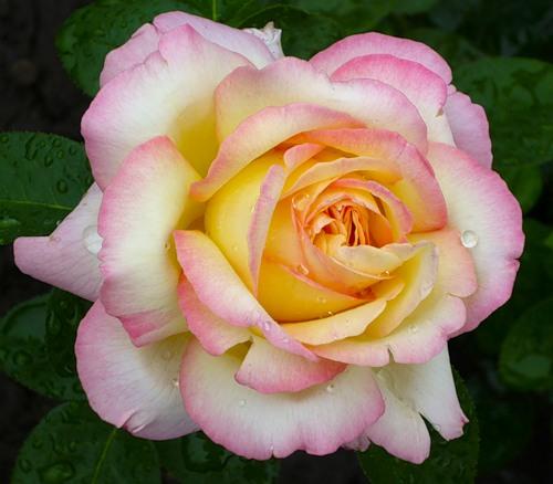 Купить Саженцы роз, саженцы роз купить, саженцы роз почтой, саженцы роз интернет магазин, розы саженцы украина, каталог саженцев роз, роза глория дей