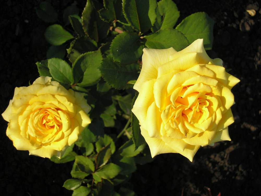 Саженцы роз купить донецк