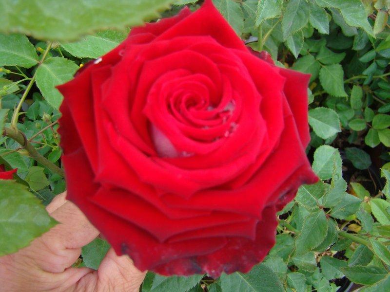 Квіти багаторічні садові