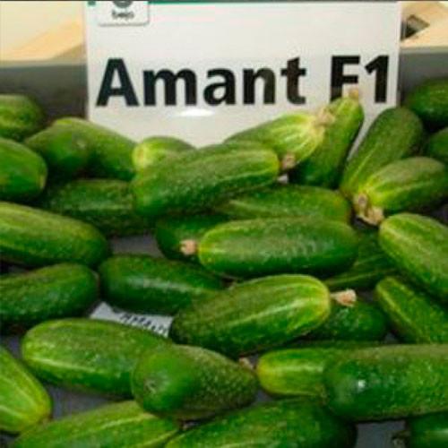Купить Семена огурца Амант F1 Amant F1 партенокарпического Bejo 100семян