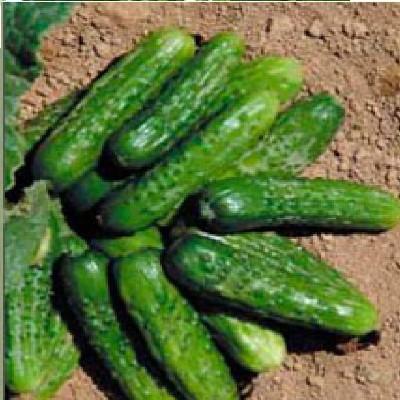 Купить Семена огурца Регина корнишона Semo 1000г