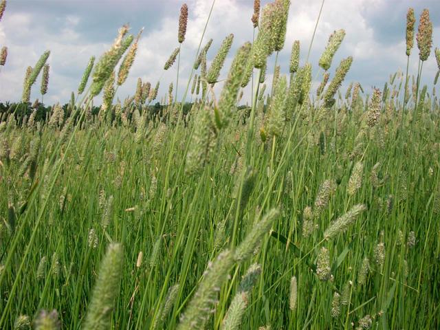 Купить Тимофеевка луговая Семена Украины 0,5кг