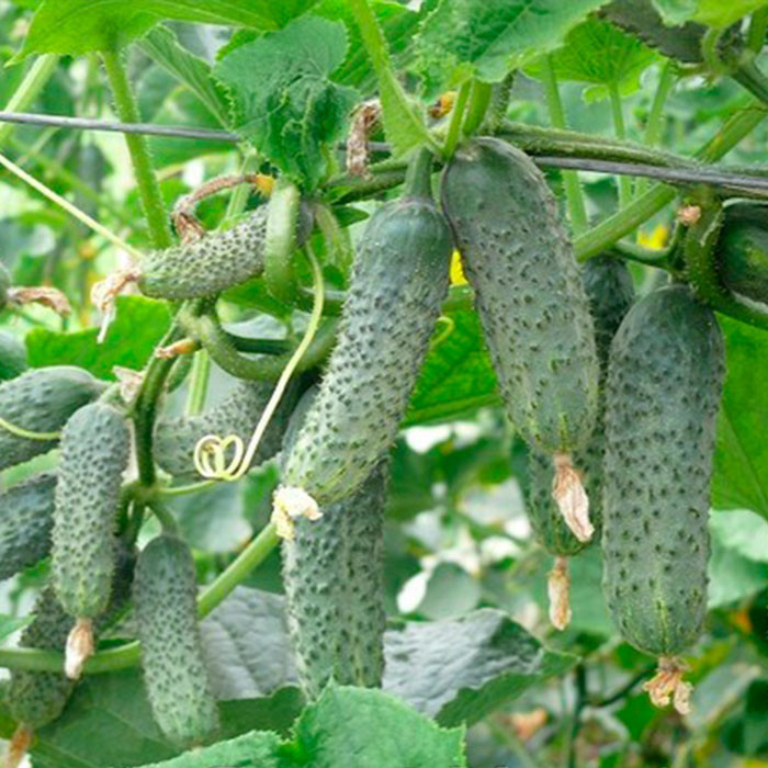 Купить Семена огурца ЗКИ-104 ZKI-104 F1 партенокарпического Lark Seeds 250семян