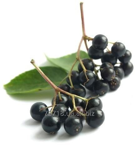 Buy Concentrate of berries of elder food powdery