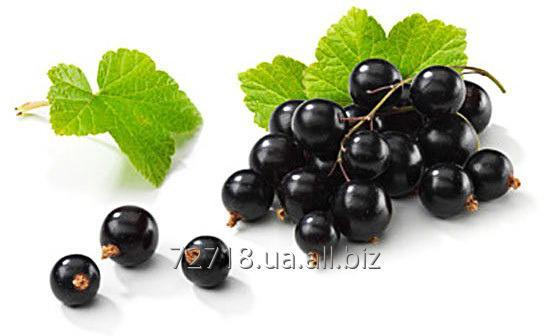 Buy Concentrate of berries of currant food powdery