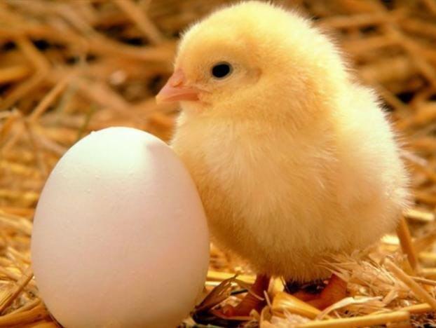 Предлагаем оптом и в розницу суточных и подрощенных цыплят-бройлеров породы КОББ-500