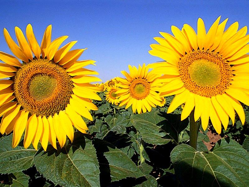 Hybrid seeds of sunflower