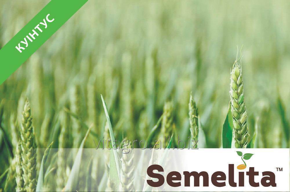 Купить Пшеница яровая Куинтус