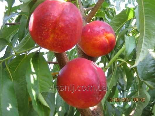 Buy Nectarine of Vang-8