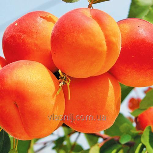 Абрикос сорт Оранж ред