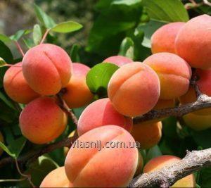 Саджанці абрикосу