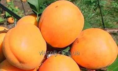 Apricot grade Har Gran