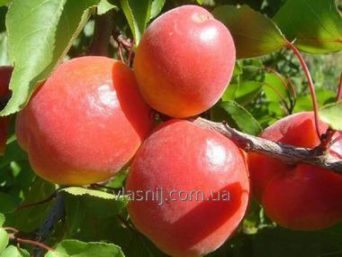 Apricot grade Erli Blush