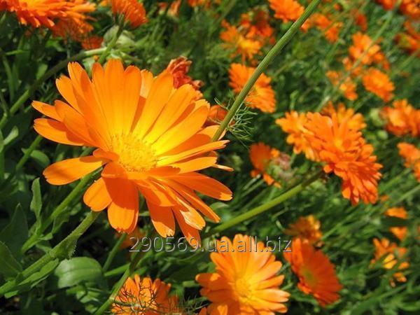 Календула, цвет