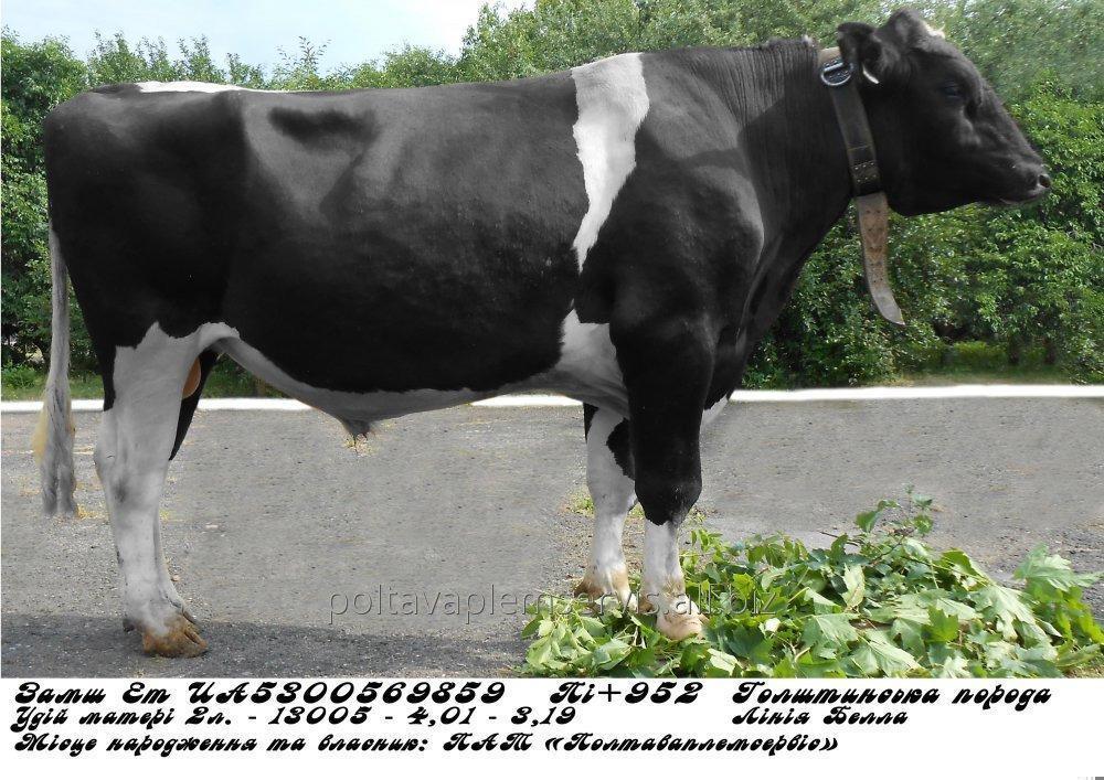 Сперма быка (пайета) Замш Ет UА5300569859  (голштин черно-пестрый)