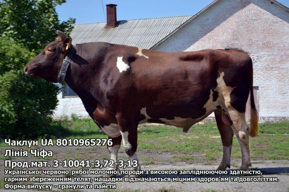 Сперма быка Чаклун (пайета) UA 8010965276 (красно-пестрый)