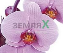 Купить Орхидея Charleston (Ø 12 см, h 70 см)