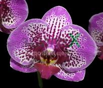 Купить Орхидея Chian Xen Violin (Ø 12 см, h 70 см)