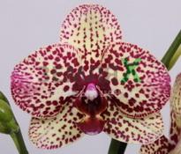 Купить Орхидея Cleopatra (Ø 12 см, h 70 см)
