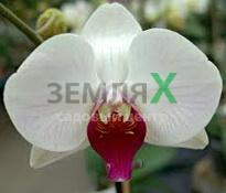 Купить Орхидея Christa Wichmann (Ø 12 см, h 70 см)