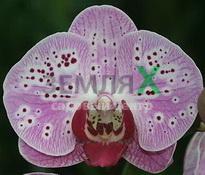 Купить Орхидея Elegant Beauty (Ø 12 см, h 70 см)