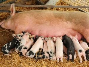 Купить БМВД ШенПиг Соу Golden Pig 10-15% (супоросные и кормящим свиноматки) (мешок 25кг)