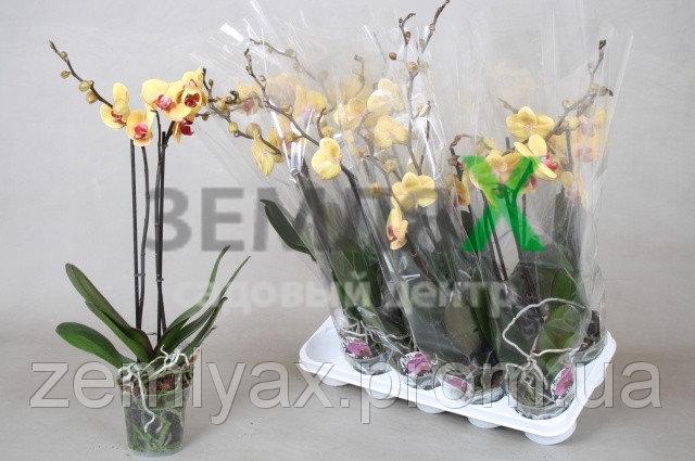 Купить Орхидея Wild Cat (Ø 12 см, h 70 см)