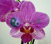 Купить Орхидея Apple Blossom (Ø 12 см, h 70 см)